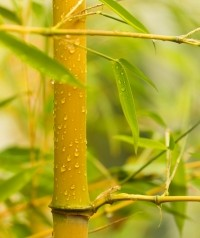 Bambus nie tylko w doniczce